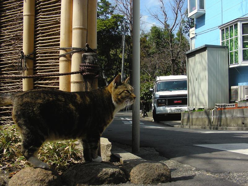 庭園門前のキジ白猫3