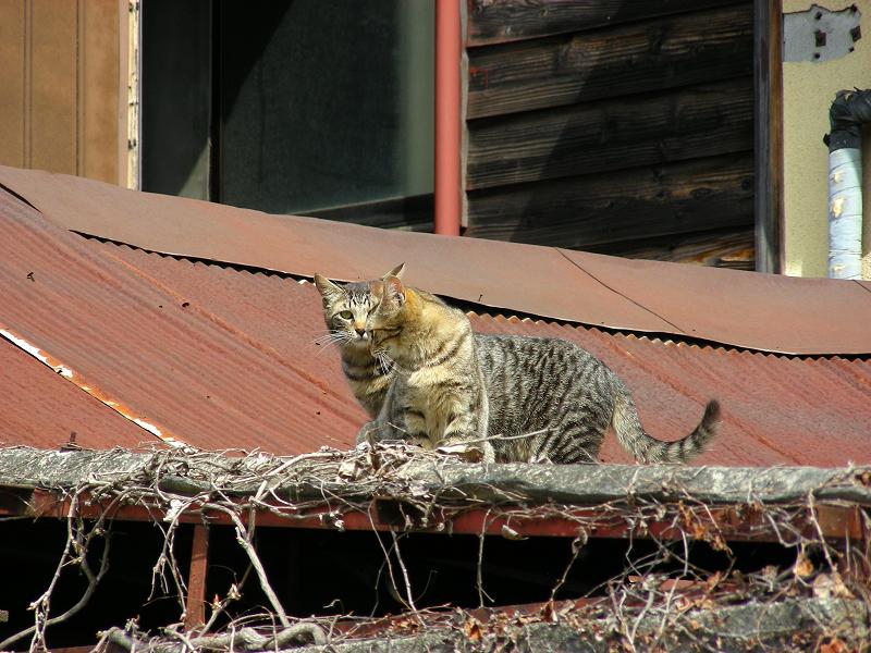 トタン屋根のネコたち3