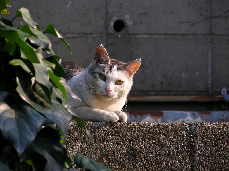 ブロックから小首傾げて見ている白キジ猫3