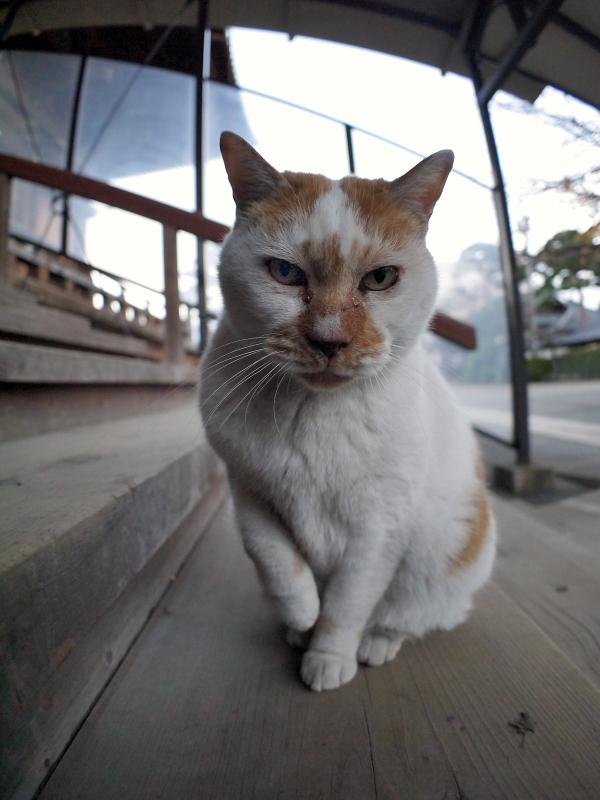 階段で右手を上げてる茶白猫1