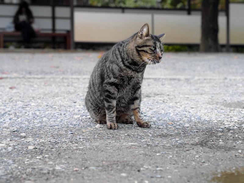 お寺境内のキジトラ猫1