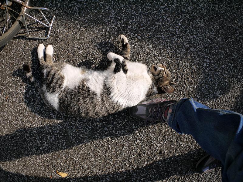 スニーカーとキジ白猫2