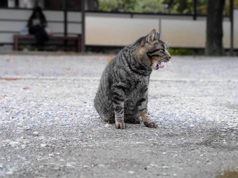 お寺境内のキジトラ猫2