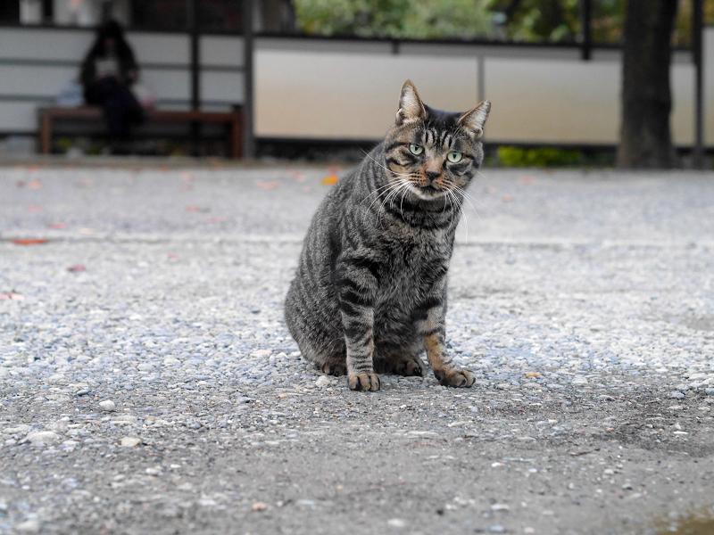 お寺境内のキジトラ猫3