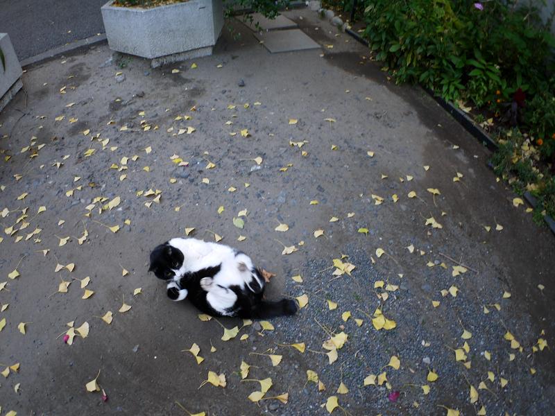 落ち葉境内と黒白猫1