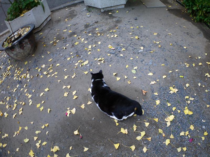 落ち葉境内と黒白猫2