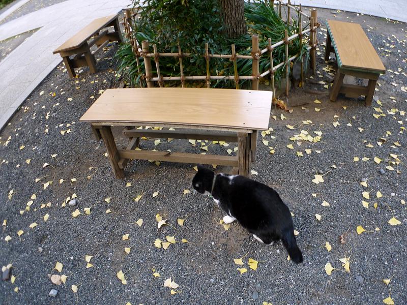落ち葉境内と黒白猫3