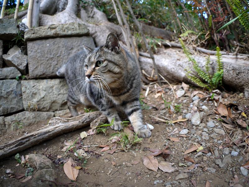 参道で再会のキジトラ猫1
