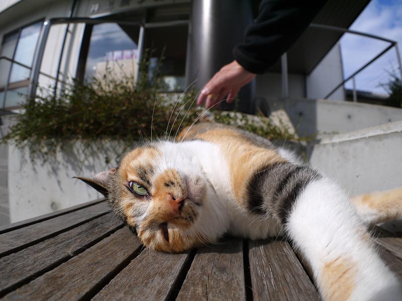 ベンチ仰向け三毛猫2