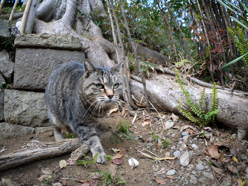 参道で再会のキジトラ猫2