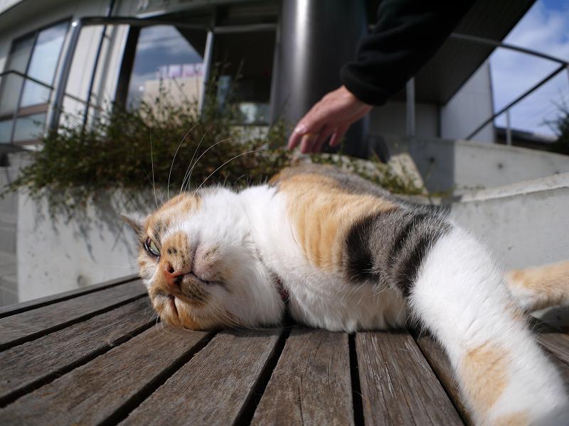 ベンチ仰向け三毛猫3