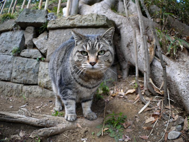 参道で再会のキジトラ猫3
