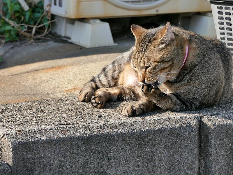 肉球を噛んでいるキジトラ猫1