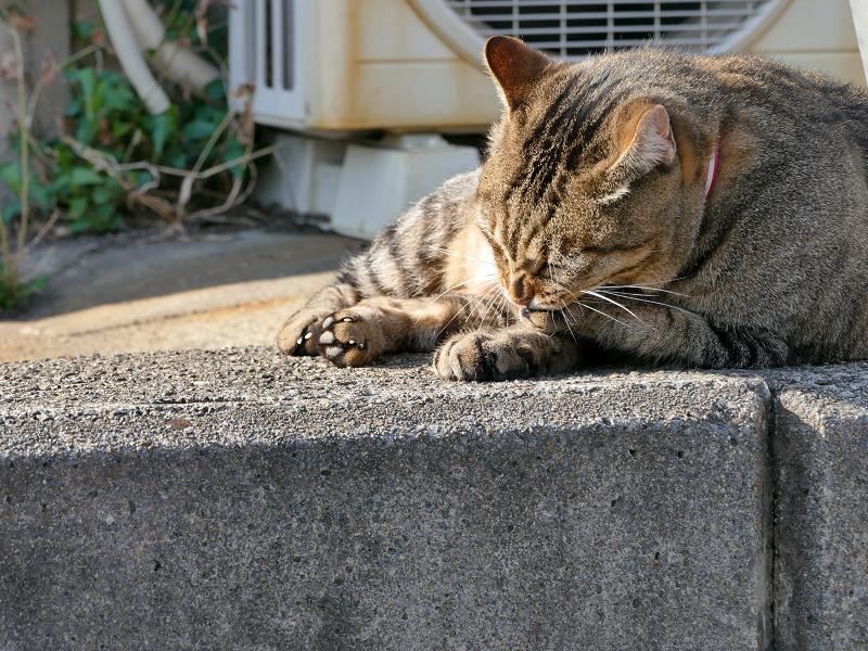 肉球を噛んでいるキジトラ猫3