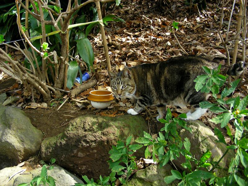 斜面茂みのキジ白猫1