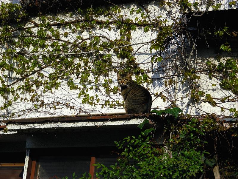 蔦が絡まる壁の前のキジトラ猫1