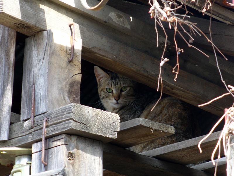 納屋隙間の猫1