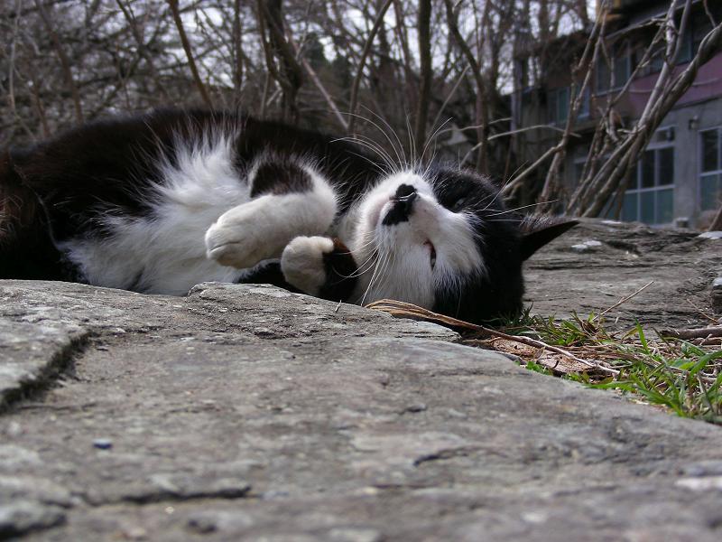 岩場で伸びをする黒白猫2