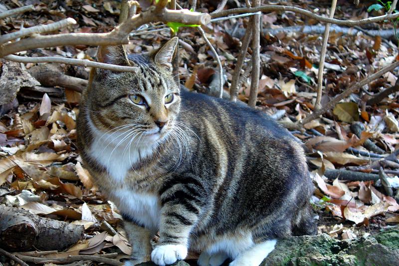 斜面茂みのキジ白猫2