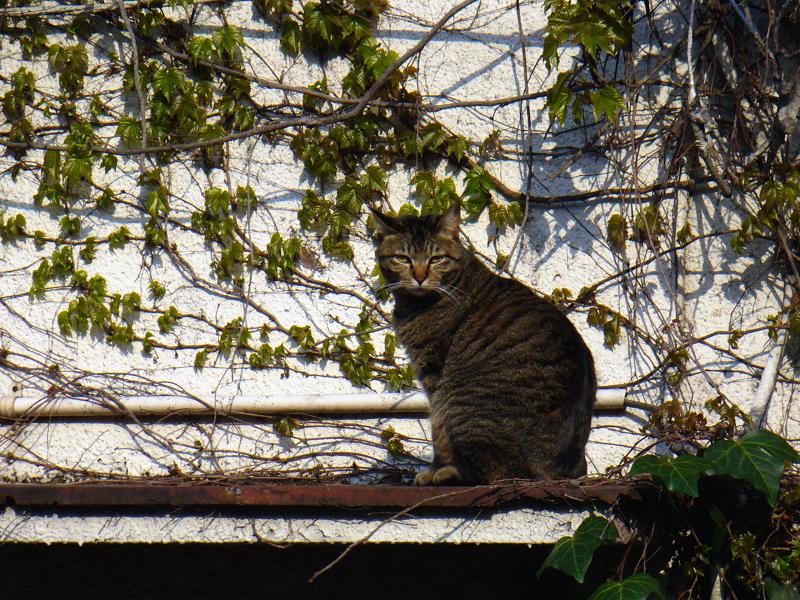 蔦が絡まる壁の前のキジトラ猫2