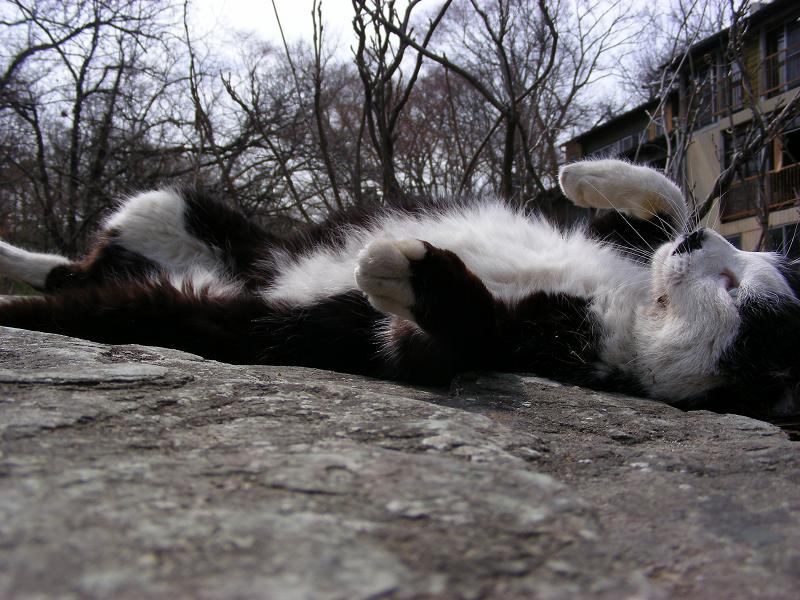岩場で伸びをする黒白猫3