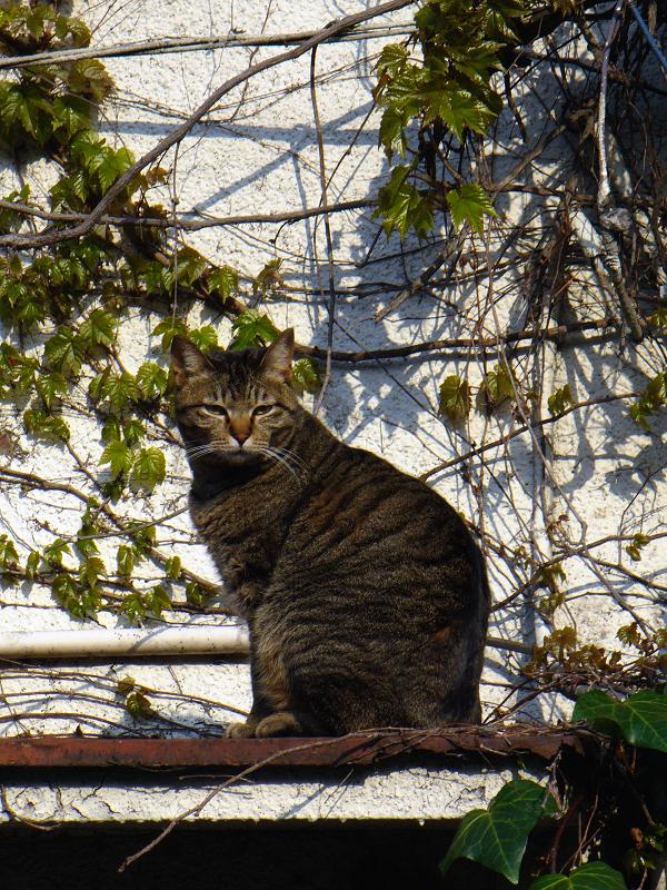 蔦が絡まる壁の前のキジトラ猫3