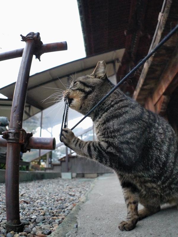 犬走りでゴム紐で遊ぶキジトラ猫2
