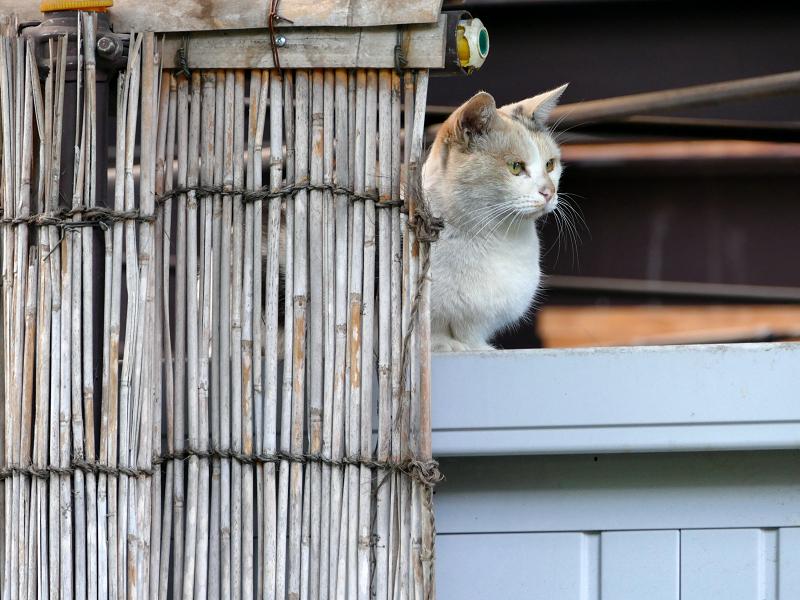 ヨシズの横から見ていた三毛猫1