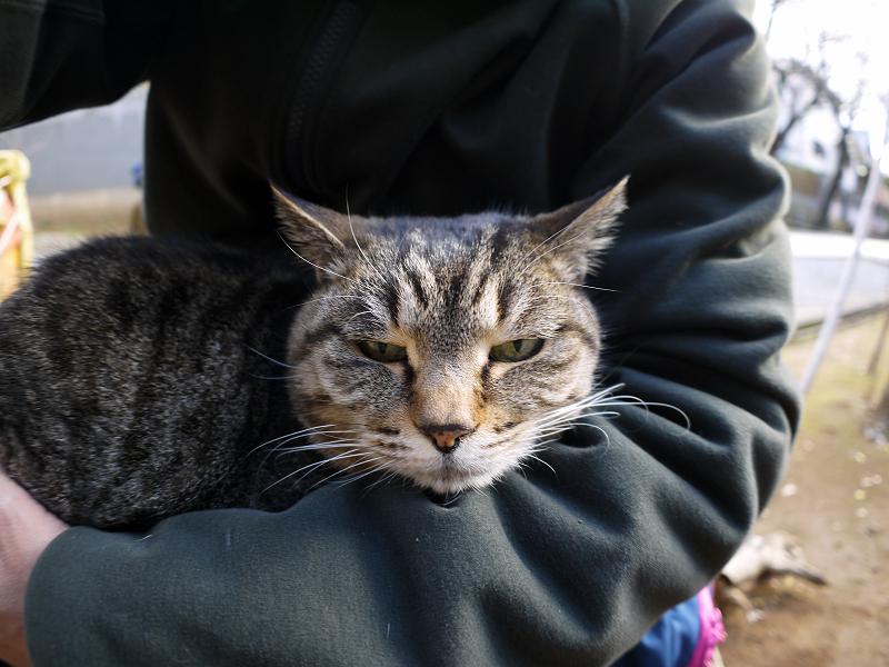 膝で寝る体勢のキジトラ猫2