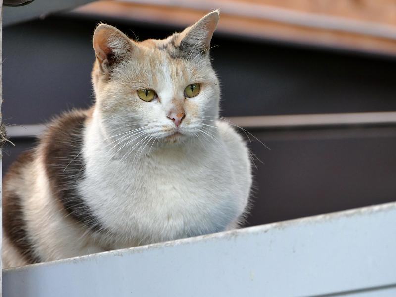 ヨシズの横から見ていた三毛猫2
