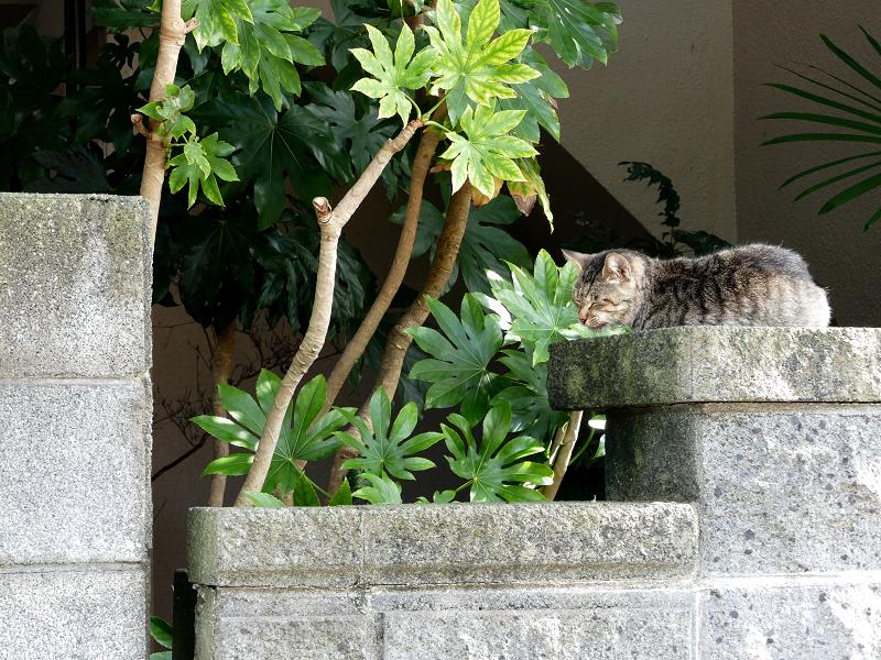 民家の玄関柱のキジトラ猫1