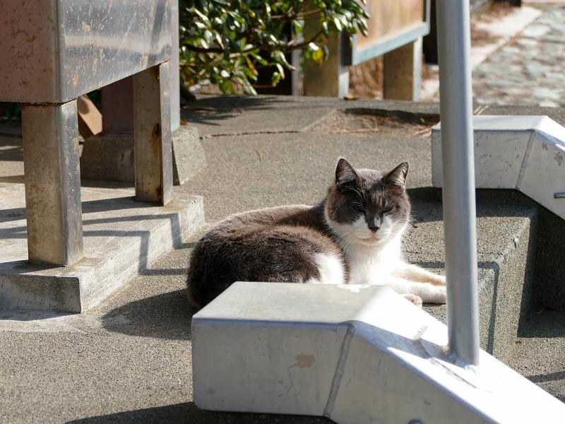 小さな祠の正面のグレー白猫1