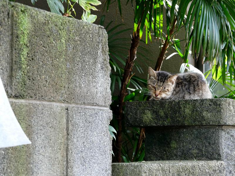 民家の玄関柱のキジトラ猫2