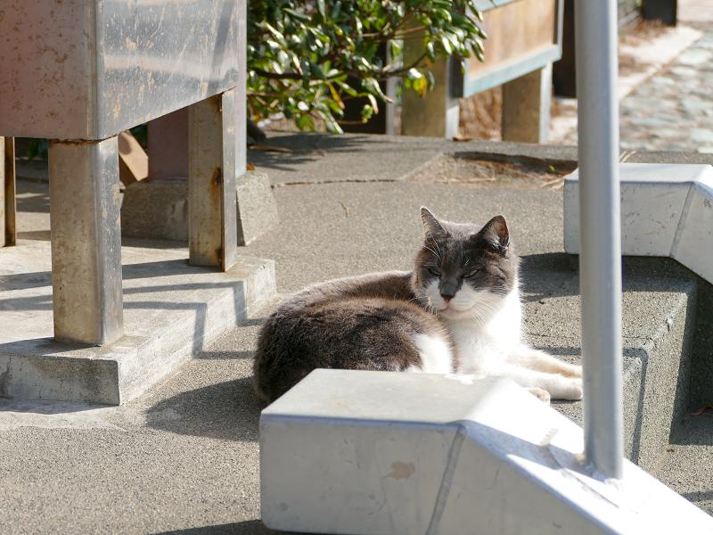 小さな祠の正面のグレー白猫2