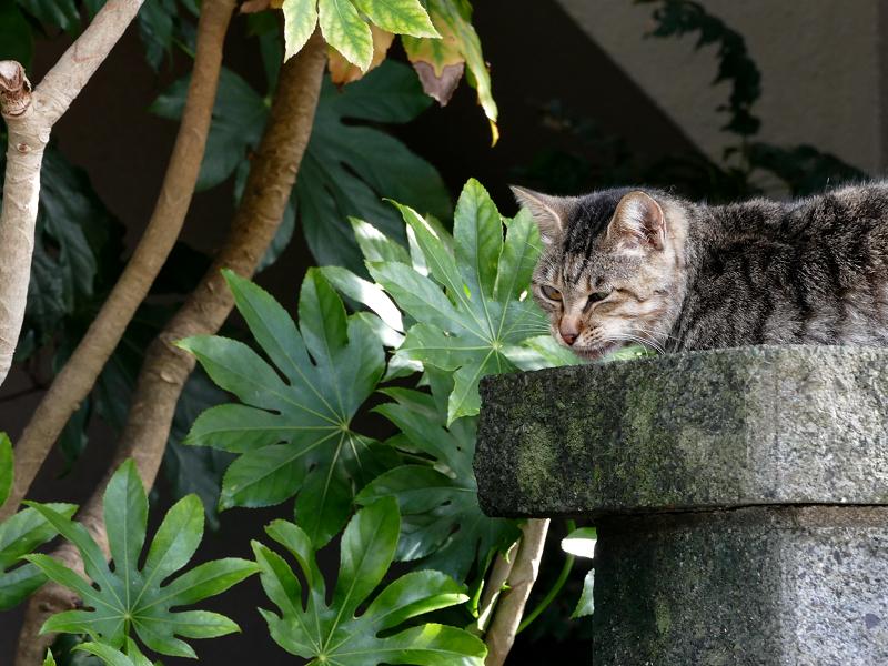 民家の玄関柱のキジトラ猫3