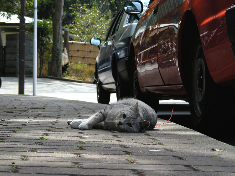 歩道で寝そべるサバ白猫1