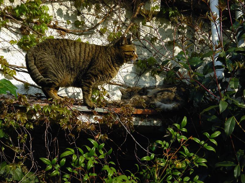 蔦が絡まる壁の前の猫2匹1