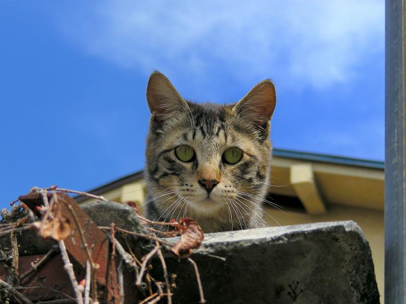 青空バックに見おろす猫2