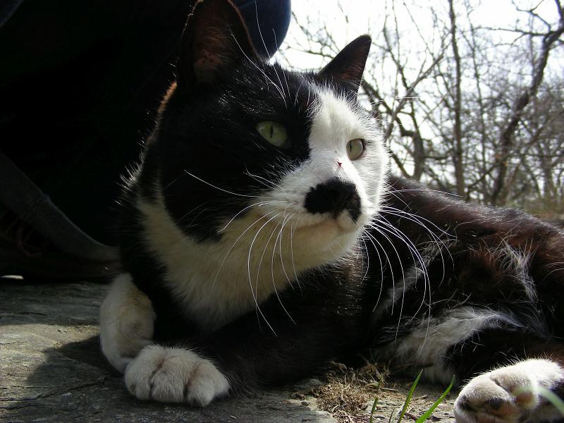 岩場の黒白猫チョビ子2