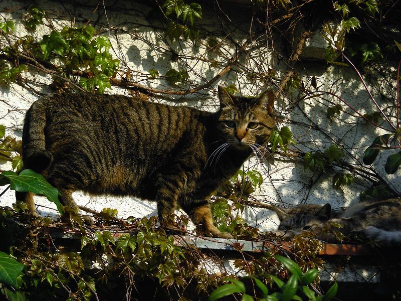 蔦が絡まる壁の前の猫2匹2