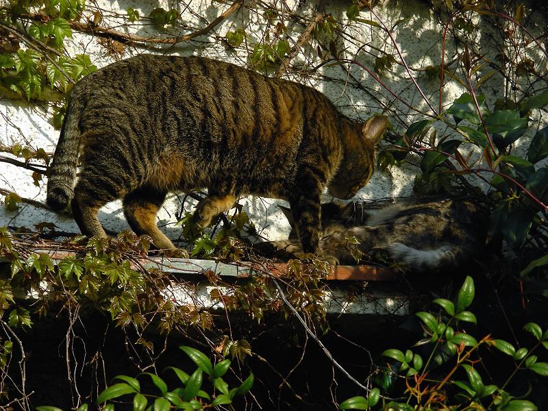 蔦が絡まる壁の前の猫2匹3
