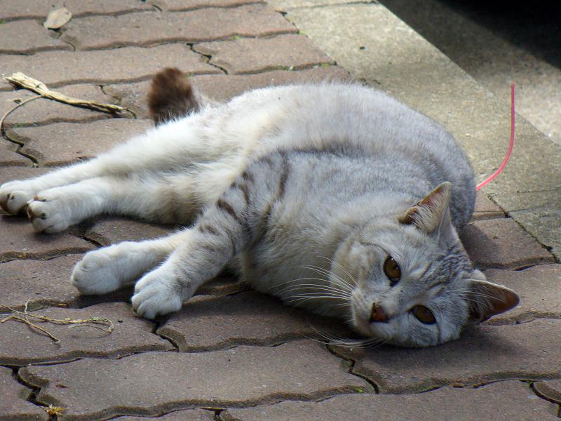 歩道で寝そべるサバ白猫3
