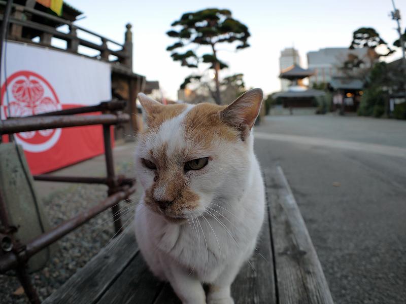 木製ベンチの白茶猫1