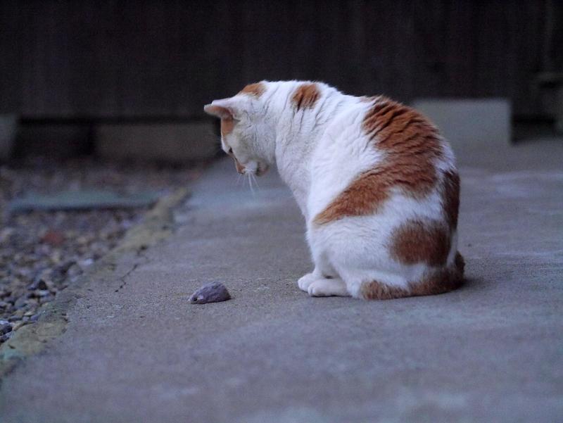 ネズミのおもちゃで遊ぶ白茶猫1