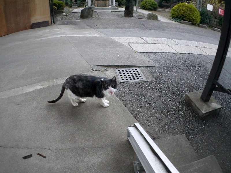 ウロウロ歩きまわる黒白猫