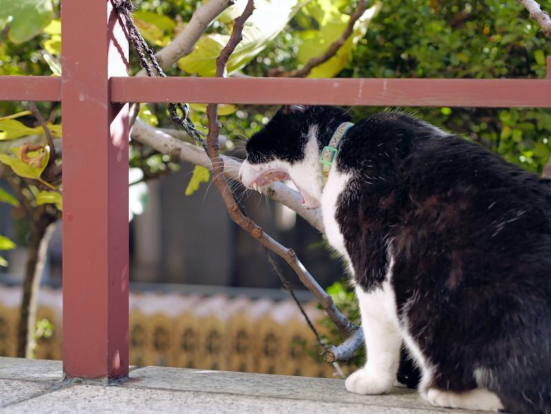 横向きでアクビをする黒白猫2