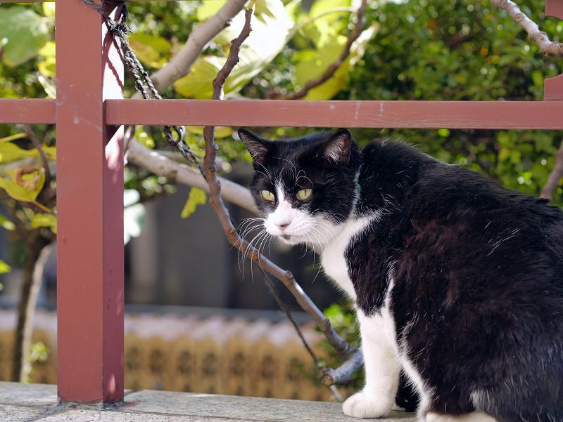 横向きでアクビをする黒白猫3