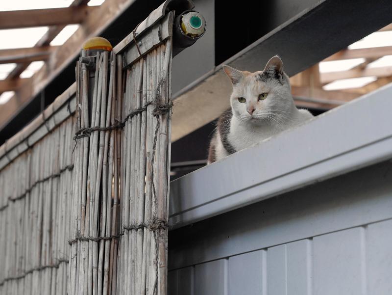 物置の上の三毛猫1