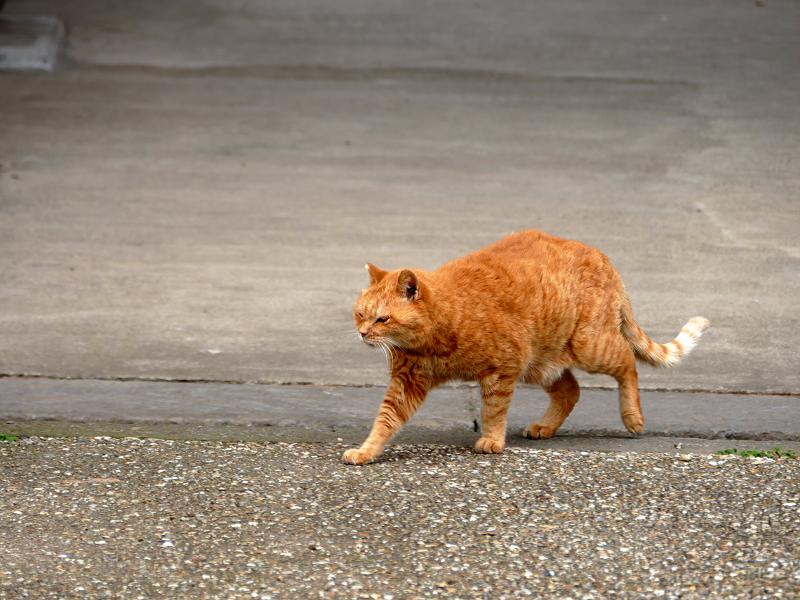 登場した茶トラ猫1