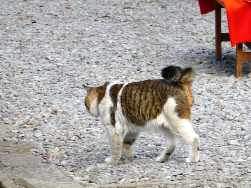砂利道参道を歩く首輪のキジ白猫1